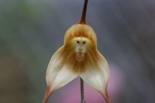 Monkey Orchid (10 Seeds)