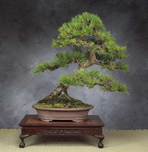 Japanese Black Pine Tree (10 Seeds)