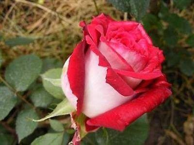 Red White Tea Rose Bush (10 Seeds)