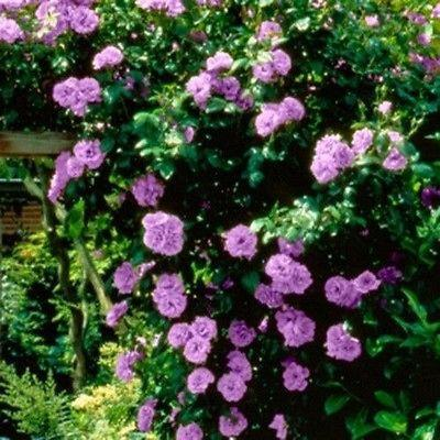 Purple Climbing Rose (20 Seeds)