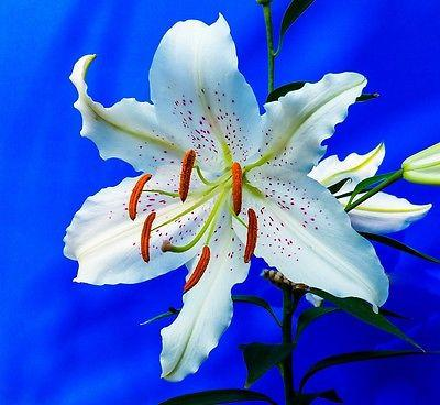 White Lily (10 Seeds)
