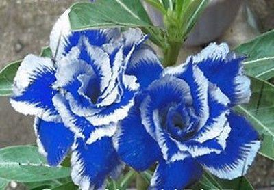 Blue White Stripe Dragon Rose (10 Seeds)