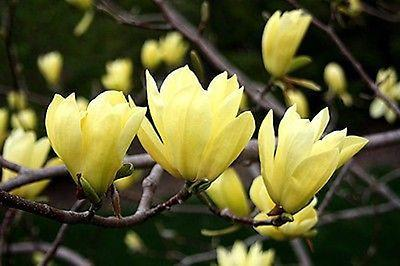 Yellow Magnolia (5 Seeds)
