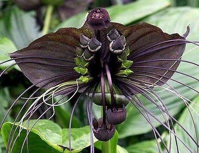 Black Bat Flower (10 Seeds)