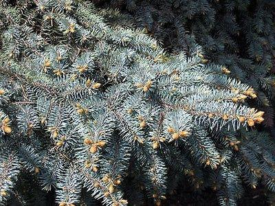 Colorado Blue Spruce (20 Seeds)