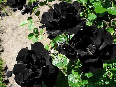 Black Rose Flower (10 Seeds)