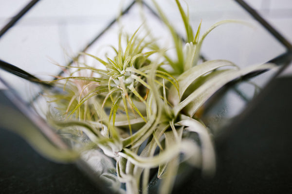 HOT TREND ALERT: Air Plants