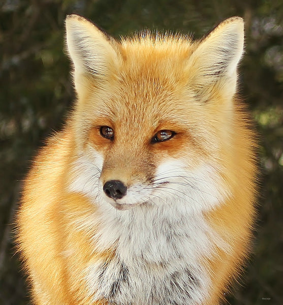 A portrait of an Algonquin red fox 8x 10 canvas - 8x10 canvas by Karen Leggo - Martello Alley