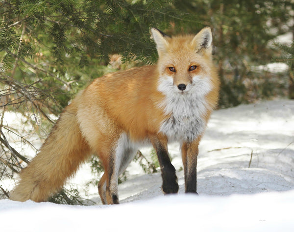 Young Algonquin Red Fox Print