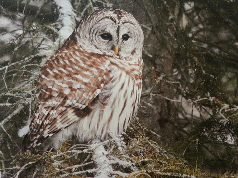 A Barred Owl on a single Snowy Branch - 11x14 canvas print by Karen Leggo - Martello Alley