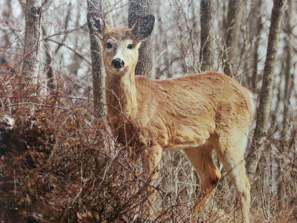 Young Doe - 11x14 canvas print by Karen Leggo - Martello Alley
