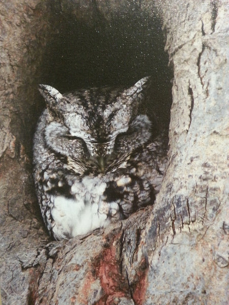 Eastern Screech Owl - 11x14 canvas print by Karen Leggo - Martello Alley