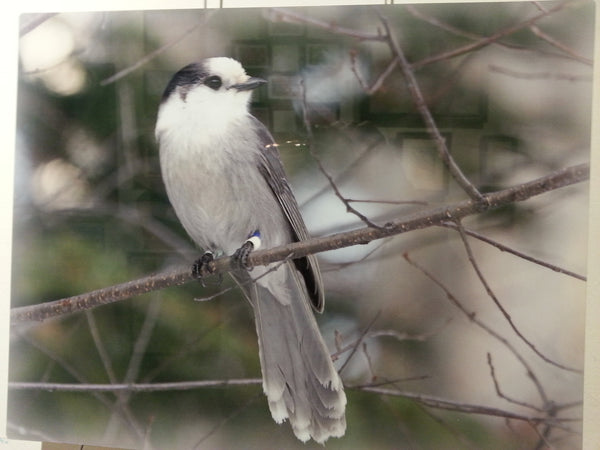 Canada's Gray Jay - 11x14 metal print by Karen Leggo - Martello Alley