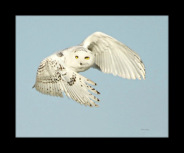 Framed Snowy owl in flight - 8 x 10 framed print by Karen Leggo - Martello Alley