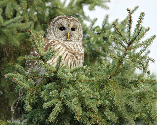 Barred Owl in the pines - 8 x 10 print - 8 x 10 print by Karen Leggo - Martello Alley