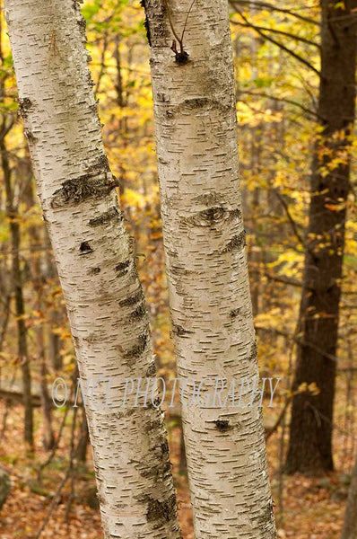 Aspens - framed canvas print - 12 x 18 inches - 12 x 18 inches canvas print by Nicole Couture-Lord - Martello Alley