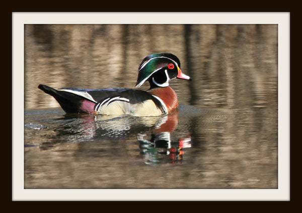Male wood duck framed - 8x10 framed print by Karen Leggo - Martello Alley