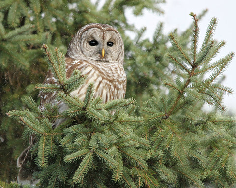"A Barred Owl in the pines 8x10 print - 8"" x 10"" print by Karen Leggo - Martello Alley"