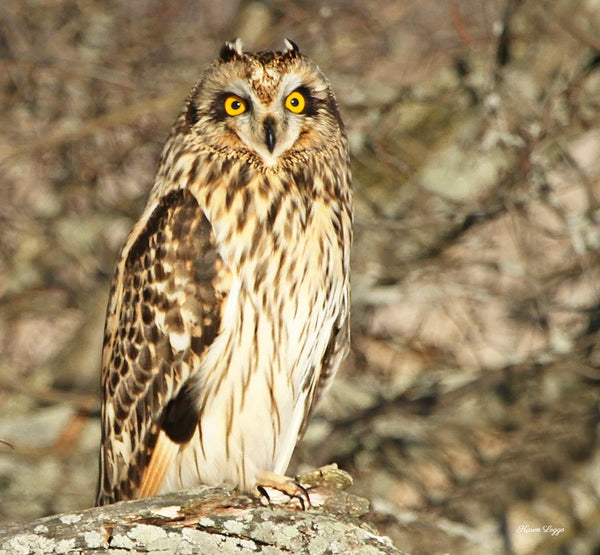 Short-eared owl print - 8x10 print by Karen Leggo - Martello Alley