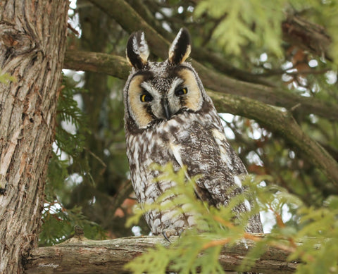A long eared owl print - 8x10 prints by Karen Leggo - Martello Alley
