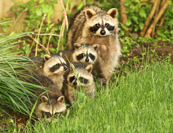 Raccoon Family - 8x10 print