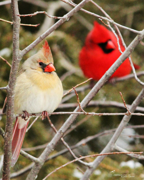 Winter Cardinals - 8x10 Prints - 8x10 prints by Karen Leggo - Martello Alley