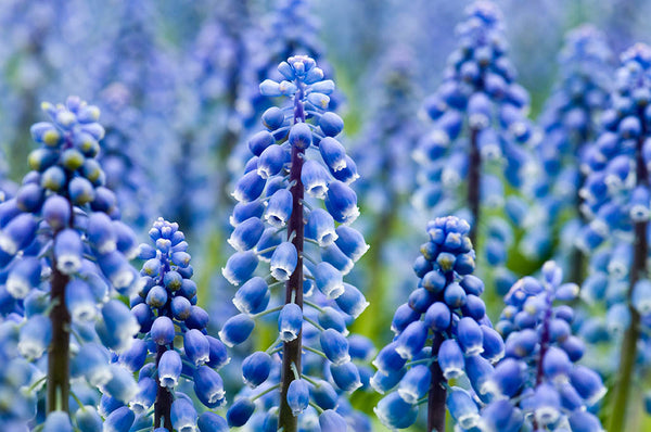 Muscari flowers - 18 x 12 inches - 18 x 12 inches canvas prints by Nicole Couture-Lord - Martello Alley