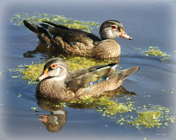 Juvenile male wood ducks 8x10 print
