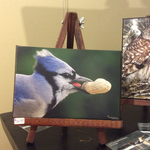 Nutty Blue Jay on easel - 5x7 canvas photo on easel by Karen Leggo - Martello Alley