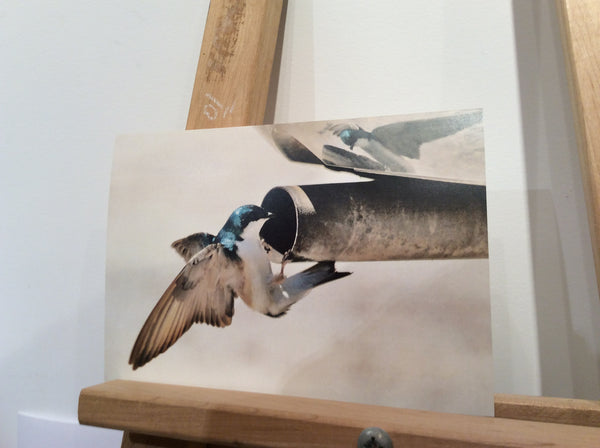 Curious Tree Swallow - Greeting card by Karen Leggo - Martello Alley