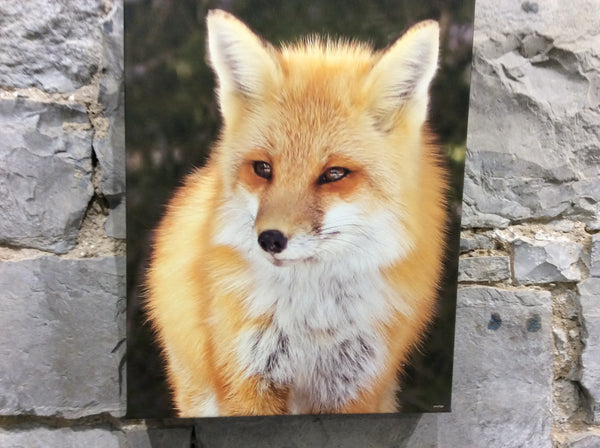 A Portrait of an Algonquin red fox 11 x 14