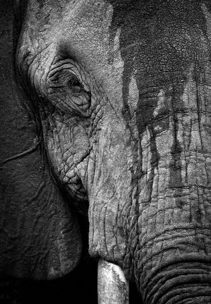 Elephant Portrait -  by Dan Fleury - Martello Alley