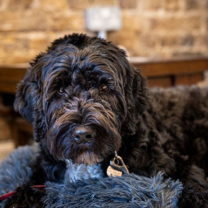 Kindred Tales | Cookie and Buddy | Dandie Dog Cafe