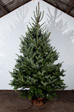 Fraser Fir Real Christmas Tree