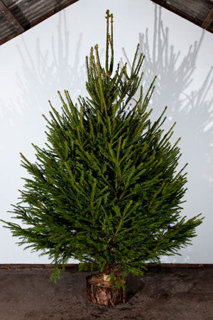 Norway Spruce Real Christmas Tree