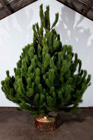 Scotch Pine Real Christmas Tree