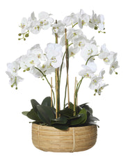 Deluxe Orchid in Basket