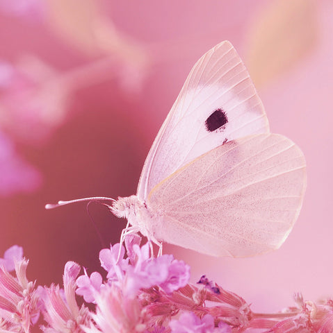 Pink Butterfly and Pink Flowers
