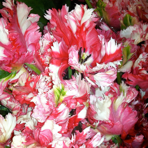 Pink and white striped Tulips with ruffled petal edges