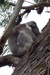 Koala in our tree
