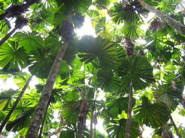 Koskela has saved an entire hectare of Daintree Rainforest!