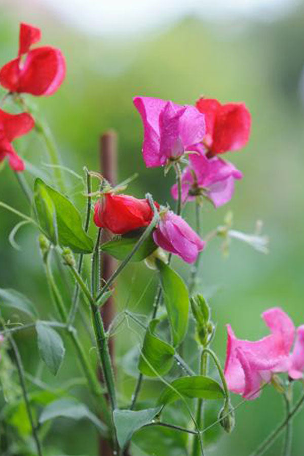 Cut Flowers - Sweet Pea - Little Sweetheart