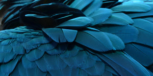 Blue feather 2