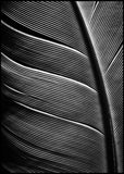 Black feather | POSTER BOARD
