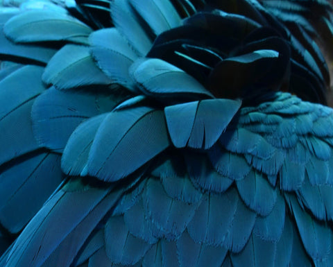 Blue feather 1