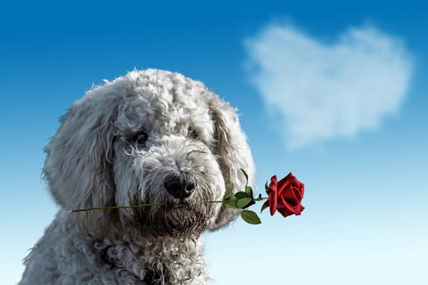 dog with rose in mouth for valentine's day