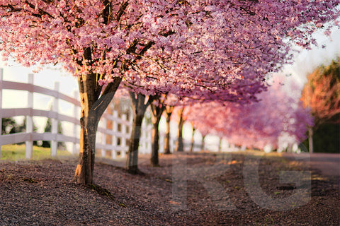 Cherry Blossom Stock Imagery