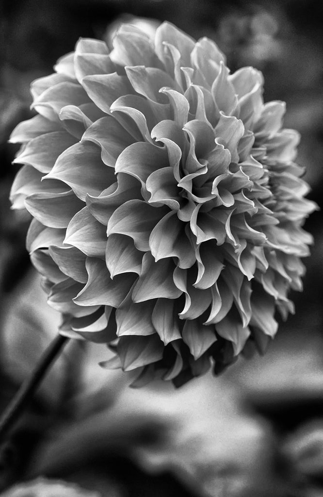 Dahlia Black and White II - ArtLifting