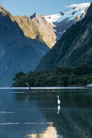 white heron at Milford Sound
