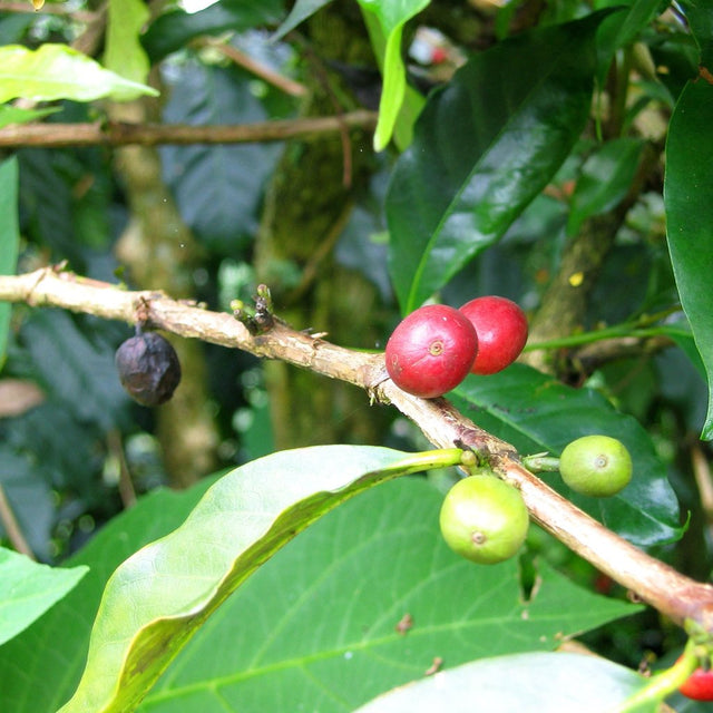 Purosa Coffee, Porosa District, Eastern Highlands, PNG (Single Origin)*